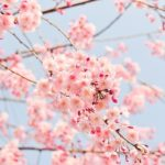 新宿御苑でお花見